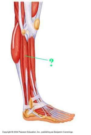 fibularis longus pain - 300×446