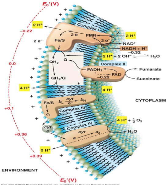 microbiology chapter 4 practice exam 4 in bacterial cells, ribosomes are packed into the cytoplasmic matrix and also  loosely attached to the plasma membrane what is the function of ribosomes.